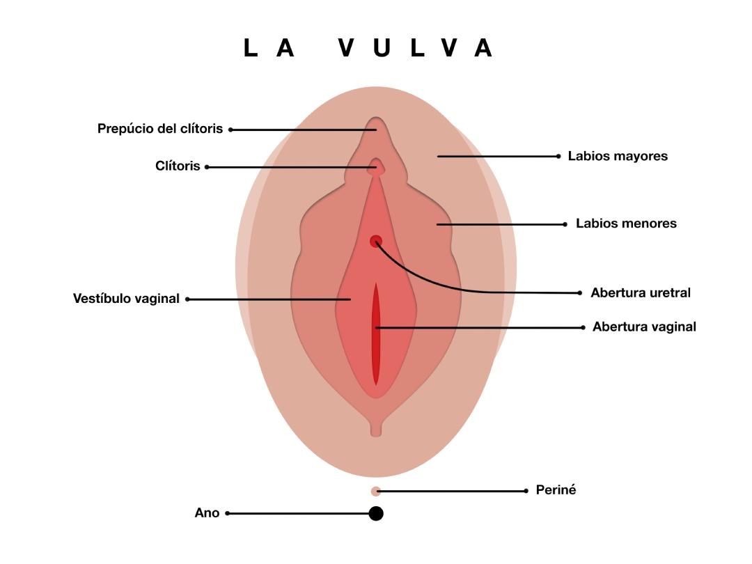 infografia vulva dermatología ginecológica Madrid